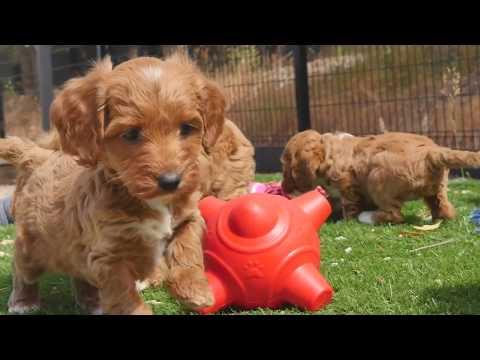 Miniature Spoodle puppies #CHEVROMIST