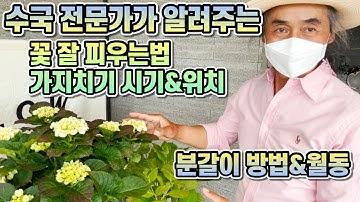 수국 전문가가 알려주는 수국 꽃 잘 피우는법!! 수국 화분에서 예쁘게 키우는법!! 가지치기, 분갈이, 월동까지 한방에!!