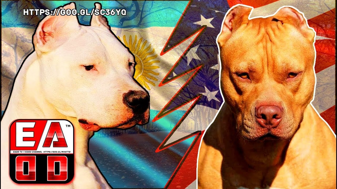 DOGO ARGENTINO VS PITBULL - Hypothetical death struggle ...