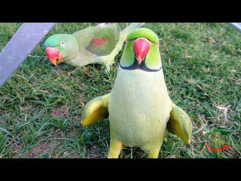 Talking and Dancing Parrots