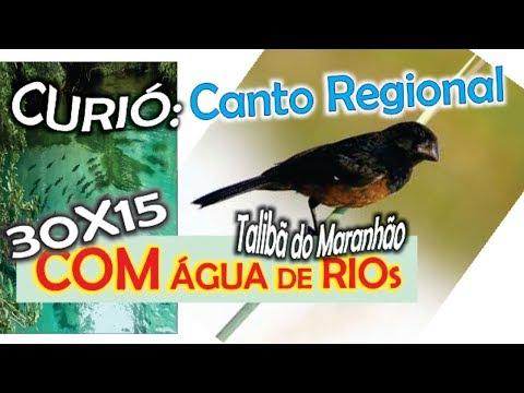 #43 Canto Regional Do Curió Talibã Do Maranhão Com 30 Minutos De Canto 15 Minutos De Som De água De