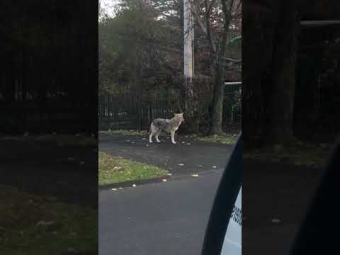 Wild Stuff: New Coywolf Sighting In Rockland Caught On Video