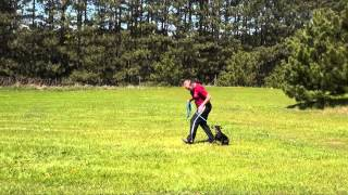 Winston (manchester Terrier) Obedience Training Demonstrations