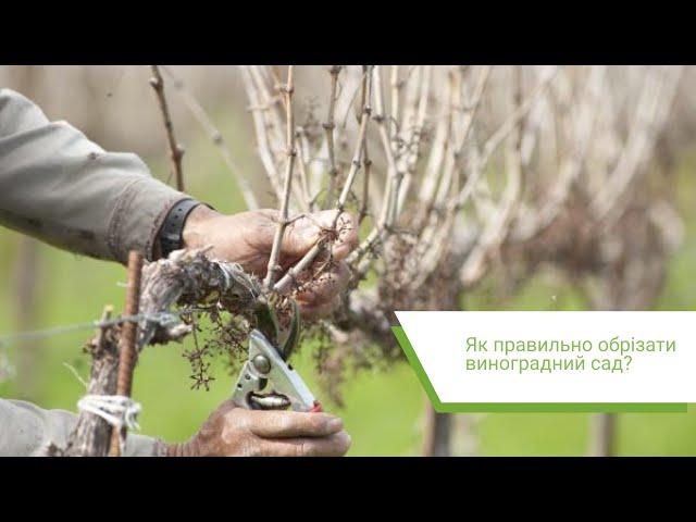 Как правильно обрезать виноградник? «Центр промышленного ореховодства и виноградарства»