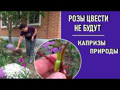 Розы весной 2020 цвести не будут   Неприятный сюрприз от прошедшего марта