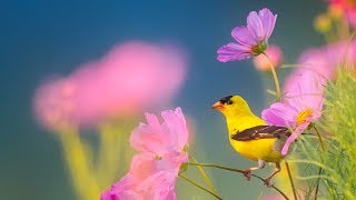 Peaceful Instrumental Music, Relaxing Nature music \'Song Birds of Morning\
