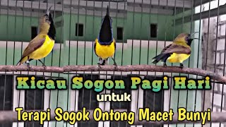 Kicau Sogon Pagi Hari Sangat Cocok Untuk TERAPI SOGOK ONTONG BAHAN dan MACET BUNYI