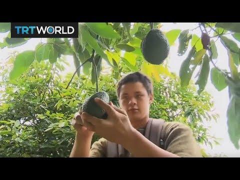 Insight: The Avocado Trade