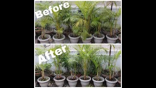 how to prune Areca palm (in HINDI)