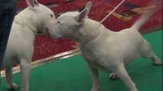 Bilboen  Your Eyes Only -bullterrier Trophies Show 2013
