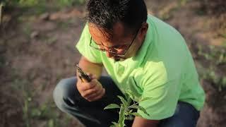 Видео урок по выращиванию подвоев и саженцев фруктовых деревьев.