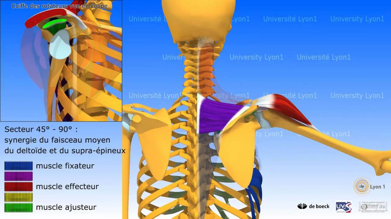 Super L'épaule: abduction ou élévation latérale du bras, muscles  OE56