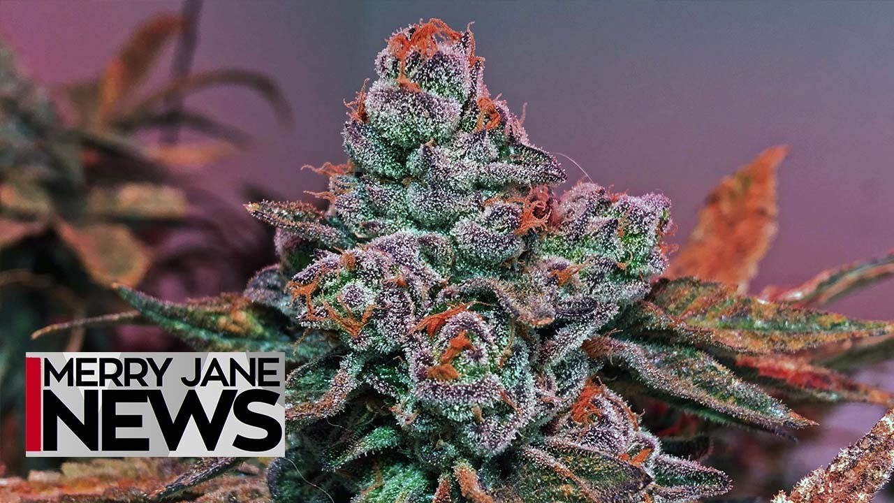 an overview of the devil weed and the legalization of mary jane Marijuana seeds from the best cannabis seed buy marijuana seeds online at mary jane's garden buying is legal when your pot seeds are shipped from.