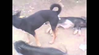 ОХ ЛЮБЯТ СОБАКИ ПОРОСЯТ ЧПОКАТЬ2015 HD mating dogs with a pig