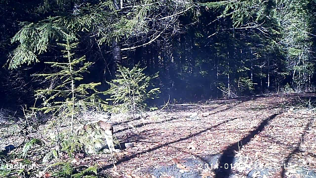 BIGFOOT39S BLOG New BLUFF CREEK PROJECT Trail Camera Results On
