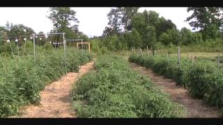 Permanent Tomato Trellis, Sprawling, & Florida Weave
