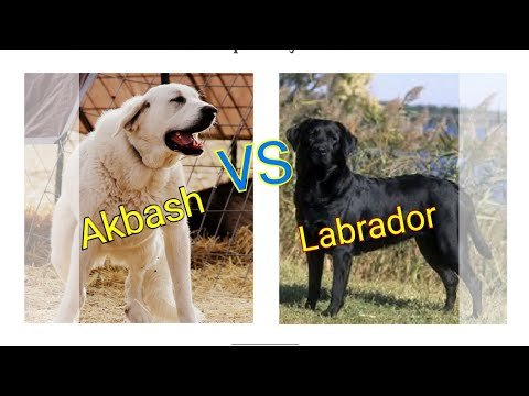 Labrador vs Akbash dog.