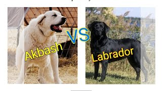 Labrador vs Akbash dog.