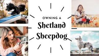 OWNING A DOG  SHETLAND SHEEPDOG / SHELTIE