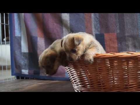 Norfolk Terrier Welpen - van de Erdmanntjes - 13. Wurf - 22.10.2018
