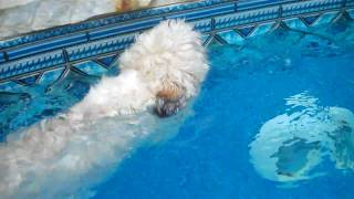 Shih Tzu Swimming