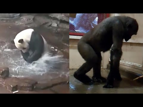 Splashing Panda Gives 'Flashdance' Gorilla Mean Competition