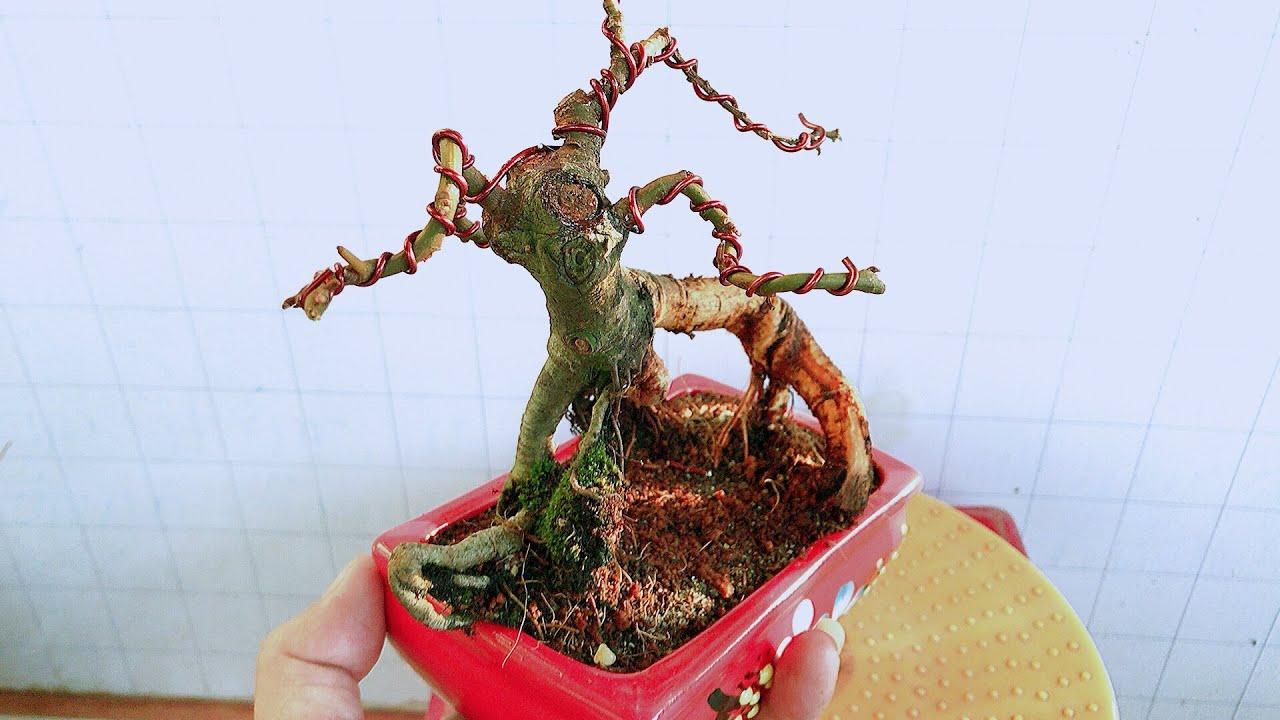 Uốn cây sung có bộ rễ đẹp