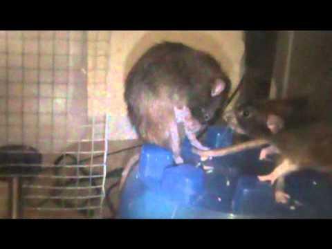 RAT BREEDING