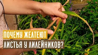 Почему желтеют листья у лилейников? Как с этим бороться? / Садовый гид