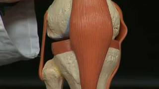 Anatomie Kniegelenk
