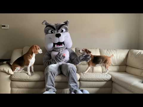 Dogs vs Giant Bulldog Mascot Prank : Funny Dogs Louie and Marie