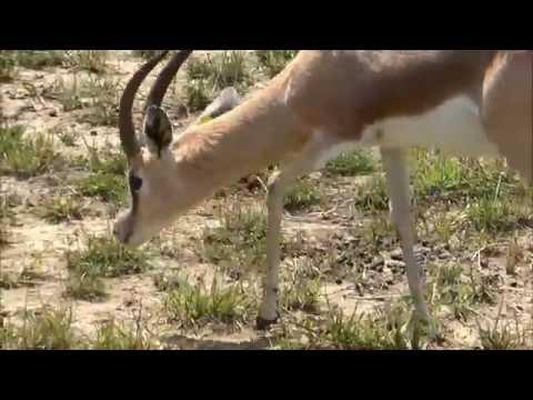 Wild nature - Dorcas gazelle