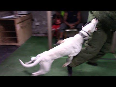 Dogo Argentino 'Mata' Level 4 Protection Dog!