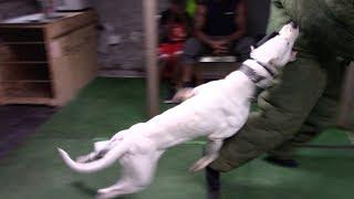 """Dogo Argentino """"Mata"""" Level 4 Protection Dog!"""