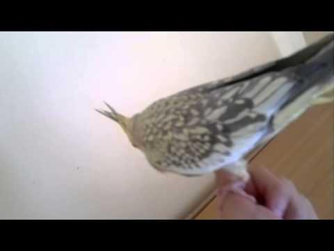 Dişi Sultan Papağanı