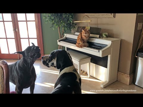 Funny Great Danes Sing and Play Along With Piano Cat