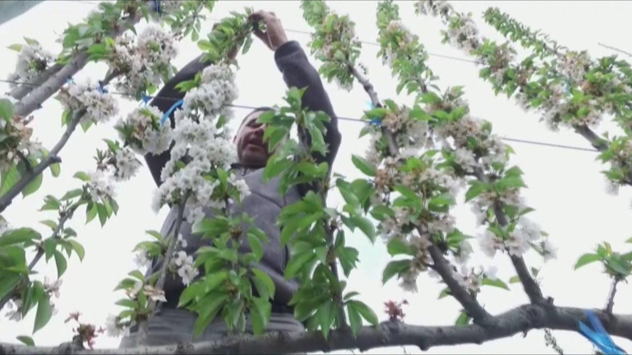 Chile Es Pionero En La Cosecha De Cerezos Bonsai Que Revolucionan La Produccion De Fruta Youtube