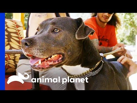 Has This Lovable Dog Finally Found Her Forever Home? | Pit Bulls & Parolees