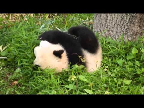 Bao Bao The Baby Panda Tumbles Down A Lil' Hill