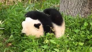 転がっても気にしな〜い、超マイペースパンダに癒やされる