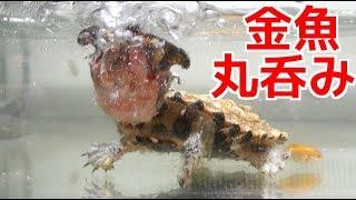 金魚を一瞬で丸呑みにするマタマタの迫力が凄い!
