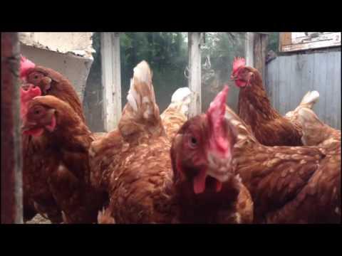 Видео для детей про домашних птиц.Курица.