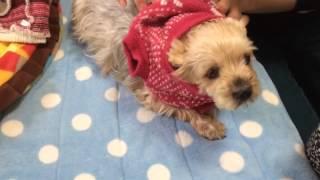 ヨークシャテリアのお着替え Change Of Clothes Of Yorkshire Terrier