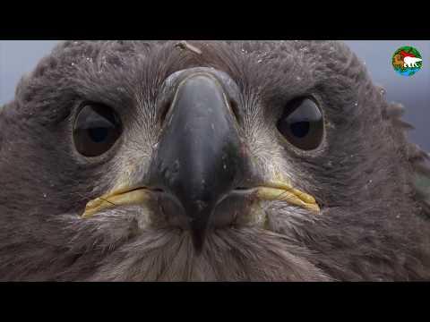 Орлан. Самая большая птица плато Путорана / White-Tailed Eagle. The Biggest Bird On Putorana Plateau