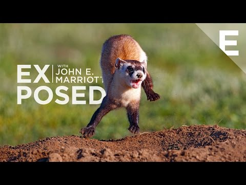 EXPOSED: Extras | Rare Black-footed Ferret Video