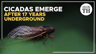Billions of Brood X cicadas emerge in U.S. after 17 years underground