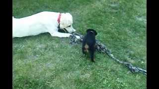 Goliath (husky/lab Mix) Dragging 6 Week Old Xena (german Rottweiler) Around In Tug-o-war