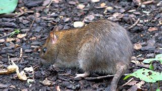 Brown Rats - Adult and young - St Jame's Park London - Rattus norvegicus