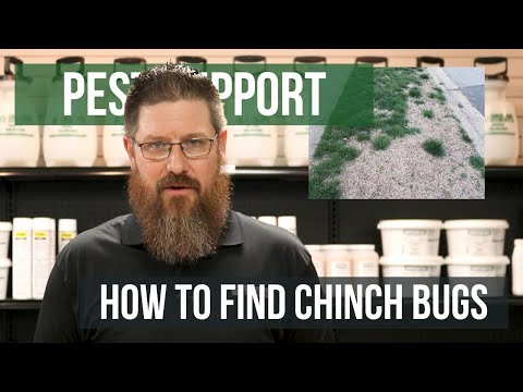 How To Identify Chinch Bugs Fast!   Pest Support