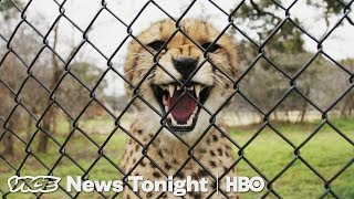 Cheetah Matchmaking & Medicare For All: VICE News Tonight Full Episode (HBO)
